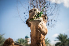 Arabic camel close up Royalty Free Stock Photography