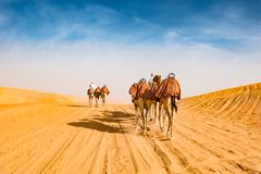 Arabic camels in desert of Abu Dhabi, U.A.E.,. Arabic camel leader riding camels in desert of Abu Dhabi, U.A.E