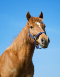 Arabic red horse Royalty Free Stock Image