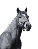 Arabic red horse Stock Image
