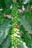 Arabica δέντρα καφέ Στοκ Εικόνα