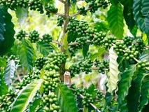 Arabica δέντρα καφέ Στοκ φωτογραφίες με δικαίωμα ελεύθερης χρήσης