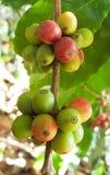 Arabica δέντρο καφέ με το φασόλι καφέ στην εκλεκτική εστίαση φυτειών καφέδων Στοκ εικόνες με δικαίωμα ελεύθερης χρήσης