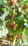 Arabica δέντρο καφέ με το φασόλι καφέ στην εκλεκτική εστίαση φυτειών καφέδων Στοκ Εικόνες