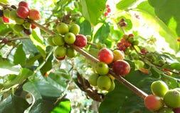 Arabica δέντρο καφέ με το φασόλι καφέ στην εκλεκτική εστίαση φυτειών καφέδων Στοκ Εικόνα
