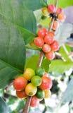 Arabica δέντρο καφέ με το φασόλι καφέ στη φυτεία καφέδων Στοκ Εικόνα