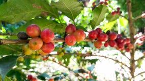 Arabica δέντρο καφέ με το φασόλι καφέ στη φυτεία καφέδων Στοκ εικόνα με δικαίωμα ελεύθερης χρήσης