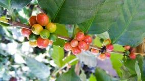 Arabica δέντρο καφέ με το φασόλι καφέ στη φυτεία καφέδων Στοκ εικόνες με δικαίωμα ελεύθερης χρήσης