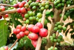 Arabica δέντρο καφέ με το φασόλι καφέ στη φυτεία καφέδων Στοκ Εικόνες