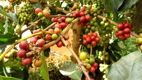 Arabica δέντρο καφέ με το φασόλι καφέ στη φυτεία καφέδων Στοκ φωτογραφία με δικαίωμα ελεύθερης χρήσης