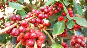 Arabica δέντρο καφέ με το φασόλι καφέ στη φυτεία καφέδων Στοκ Φωτογραφία