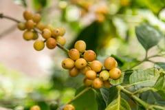 Arabica κίτρινα φασόλια καφέ λεπτομερώς Στοκ εικόνα με δικαίωμα ελεύθερης χρήσης