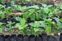Arabica και Robusta δέντρα καφέ, φυτεία καφέ Στοκ φωτογραφίες με δικαίωμα ελεύθερης χρήσης