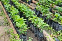 Arabica και Robusta δέντρα καφέ, φυτεία καφέ Στοκ εικόνες με δικαίωμα ελεύθερης χρήσης