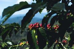 Arabica καλής ποιότητας καφές στο υψηλό βουνό Στην Ταϊλάνδη της Νοτιοανατολικής Ασίας Στοκ Φωτογραφία