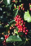 Arabica καλής ποιότητας καφές στο υψηλό βουνό Στην Ταϊλάνδη της Νοτιοανατολικής Ασίας Στοκ Εικόνα