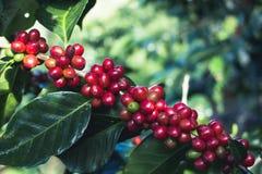 Arabica καλής ποιότητας καφές στο υψηλό βουνό Στην Ταϊλάνδη της Νοτιοανατολικής Ασίας Στοκ φωτογραφία με δικαίωμα ελεύθερης χρήσης