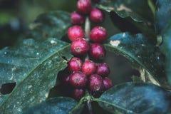 Arabica καλής ποιότητας καφές στο υψηλό βουνό Στην Ταϊλάνδη της Νοτιοανατολικής Ασίας Στοκ Εικόνες