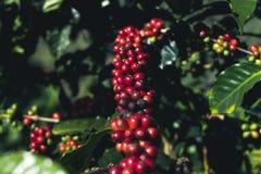Arabica καλής ποιότητας καφές στο υψηλό βουνό Στη Νοτιοανατολική Ασία Στοκ Φωτογραφίες