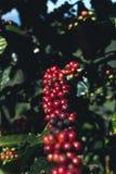 Arabica καλής ποιότητας καφές στο υψηλό βουνό Στη Νοτιοανατολική Ασία Στοκ εικόνες με δικαίωμα ελεύθερης χρήσης