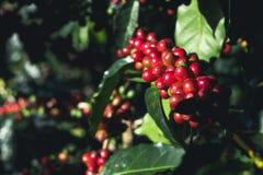 Arabica καλής ποιότητας καφές στο υψηλό βουνό Στη Νοτιοανατολική Ασία Στοκ Εικόνα