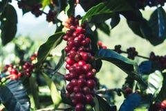 Arabica καλής ποιότητας καφές στο υψηλό βουνό Στη Νοτιοανατολική Ασία Στοκ φωτογραφία με δικαίωμα ελεύθερης χρήσης