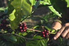 Arabica καλής ποιότητας καφές στο υψηλό βουνό Στη Νοτιοανατολική Ασία Στοκ Εικόνες