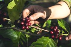 Arabica καλής ποιότητας καφές στο υψηλό βουνό Στη Νοτιοανατολική Ασία Στοκ εικόνα με δικαίωμα ελεύθερης χρήσης