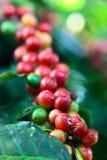 Arabica καφές στη θέση κερασιών Στοκ εικόνα με δικαίωμα ελεύθερης χρήσης