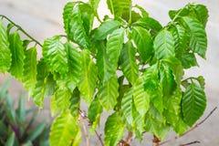 Arabica καφέ πράσινο φύλλο φυτού Στοκ Φωτογραφία