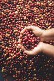 Arabica κερασιών καφέ διαθέσιμο χέρι Νοτιοανατολική Ασία Στοκ εικόνες με δικαίωμα ελεύθερης χρήσης