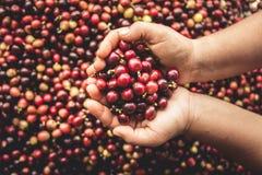 Arabica κερασιών καφέ διαθέσιμο χέρι Νοτιοανατολική Ασία Στοκ εικόνα με δικαίωμα ελεύθερης χρήσης