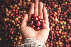 Arabica κερασιών καφέ διαθέσιμο χέρι Νοτιοανατολική Ασία Στοκ Εικόνες