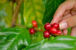 Arabica μούρα καφέ με τα χέρια γεωπόνων Στοκ Εικόνα