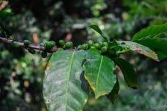 Arabica πράσινα ανώριμα φασόλια καφέ στο δέντρο Στοκ φωτογραφία με δικαίωμα ελεύθερης χρήσης