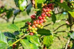 Arabica φασολιών καφέ ώριμο σε ένα δέντρο Στοκ εικόνα με δικαίωμα ελεύθερης χρήσης