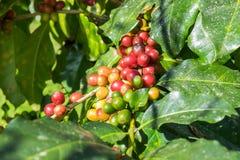 Arabica φασολιών καφέ ώριμο σε ένα δέντρο Στοκ Εικόνες