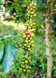 Arabica φασολιών καφέ ώριμο σε ένα δέντρο Στοκ φωτογραφίες με δικαίωμα ελεύθερης χρήσης