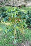 Arabica φασολιών καφέ ώριμο σε ένα δέντρο Στοκ εικόνες με δικαίωμα ελεύθερης χρήσης