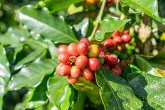 Arabica φασολιών καφέ ώριμο σε ένα δέντρο Στοκ Φωτογραφίες