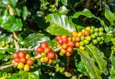 Arabica φασολιών καφέ ώριμο σε ένα δέντρο Στοκ φωτογραφία με δικαίωμα ελεύθερης χρήσης