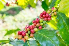 Arabica φασολιών καφέ ώριμο σε ένα tree= Στοκ Φωτογραφία