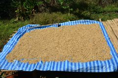 Arabica φασόλια καφέ που ξεραίνουν στον ήλιο Στοκ φωτογραφία με δικαίωμα ελεύθερης χρήσης