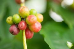 Arabica φασόλια καφέ που ωριμάζουν στο δέντρο στο Βορρά της Ταϊλάνδης Στοκ Φωτογραφία