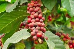 Arabica φασόλια καφέ στον κλάδο του δέντρου καφέ Στοκ Εικόνες