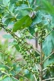 Arabica φυτεία καφέ στην Ταϊλάνδη Στοκ Φωτογραφία