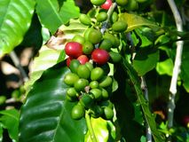 Arabica Coffea καφέ Στοκ Εικόνες