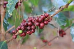 Arabica Coffea μούρο Στοκ φωτογραφία με δικαίωμα ελεύθερης χρήσης