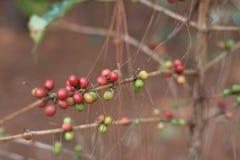 Arabica Coffea μούρο Στοκ φωτογραφίες με δικαίωμα ελεύθερης χρήσης