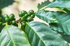 Arabica Coffea φρούτα Στοκ φωτογραφία με δικαίωμα ελεύθερης χρήσης